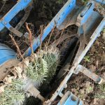 Weihnachtsbäume 2/0 Verschulung Baumschule Jungpflanzen Tannenbäume
