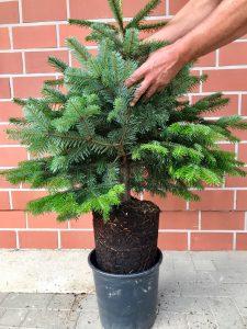 Topf Gewachsen Baum 60-80 cm Baumschule Engler Christmas Tree in pot